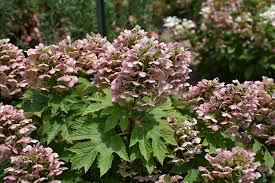oakleaf hydrangea hydrangea