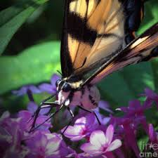 Eastern Tiger Swallowtail #3 Photograph by Aubrey Moat