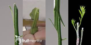 How To Graft Your Avocado So It Produces Fruit I Have Another Pin How To Graft Fruit Trees With Pictures