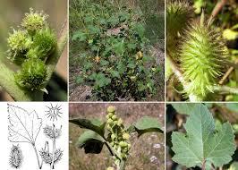 Xanthium italicum Moretti - Portale sulla flora delle Saline di Cervia