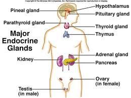 chapter    endocrine system objectives