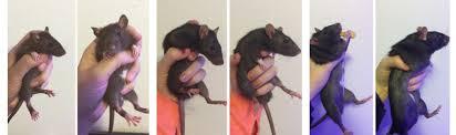 Rat Chart Rat Growth Chart Imgur