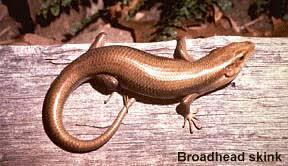 South Carolina Lizards Barca Fontanacountryinn Com