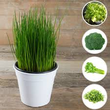nurserylive best 5 exotic microgreen seeds kitchen garden