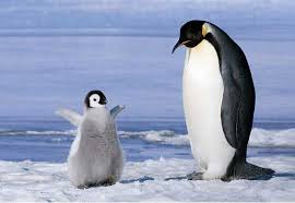 real baby penguins pictures. Simple Pictures Real Life Happy Feetu2026 On Baby Penguins Pictures O