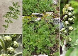 Artemisia atrata Lam. - Portale sulla flora del Parco Nazionale del ...