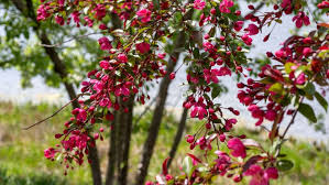 small flowering trees for small spaces