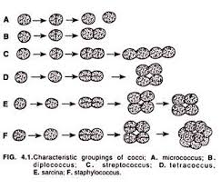 essay on bacteria microbiology characteristics groupings of cocci