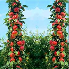 apple tree. bonsai apple tree seeds rare fruit sweet meat-- indoor plant for home garden online with $5.58/piece on