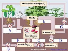 Biology Multiple Choice Quizzes Diagram Quiz On Nitrogen Cycle