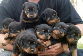 rottweiler dog puppy. contact for adopting/buying rottweiler puppy dog o