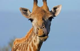 picture of a giraffe. Brilliant Picture Itu0027s Time For The Lowdown On One Of Natureu0027s Gentle Giants Check Out Our  Ten Facts About Beautiful Giraffeu2026 On Picture Of A Giraffe