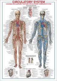 The Circulatory System Human Body Anatomy Huge Wall Chart