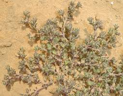 Loeflingia hispanica L. | Flora of Israel Online
