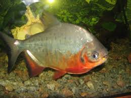 amazon river animals. Contemporary Amazon The Bigger Brother Of The Piranha Pacu Is Known For Its Distinct  Humanlike Teeth Being Omnivorous Part Diet Fish Consists Nuts And  For Amazon River Animals Z