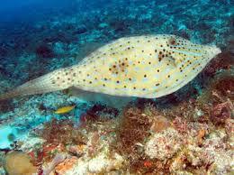 scrawled filefish. Modren Scrawled Scrawled Filefish  Aluterus Scriptus Cozumel Mexico Intended