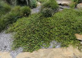 ground cover plants image