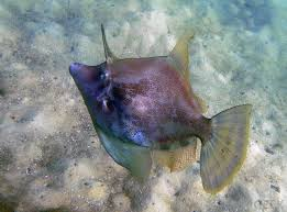 the fan bellied leatherjacket fish can be identified by its diamond shaped and darker coloring