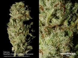 colorado medical marijuana llc