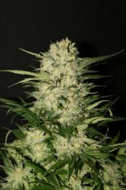 A Northern Light Plot Summary Northern Light Royal Queen Seeds Cannabis Strain Info