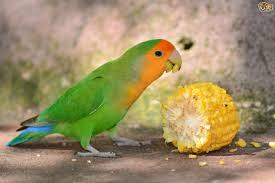 Αποτέλεσμα εικόνας για peach-faced parrot