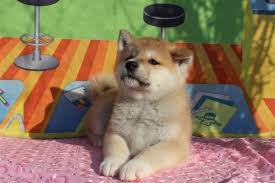 s dogs akita inu puppy lying on a