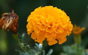 marigold flower information in zendu essay agrave curren agrave yen agrave curren agrave curren iexcl agrave yen  zendu flowers essay nibandh