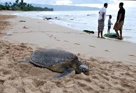 File Laniakea Beach 01 Jpg Wikimedia Commons