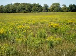 tall green grass field. Photograph Of Midewin Prairie National Tallgrass Prairie. Courtesy The Center Tall Green Grass Field