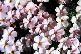 o glabra free flowering um size showy pink flowers plants and bulbs small 1 4