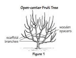 Best 25 Cherry Plant Ideas On Pinterest  Cherry Fruit Tree Buy Cherry Fruit Tree Care