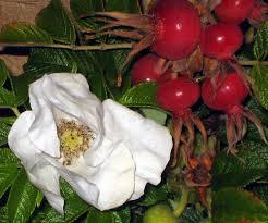 white rugosa rose rosa rugosa alba
