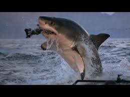 shark attack on humans.  Humans Why Are More Sharks Attacking Humans And Shark Attack On Humans A