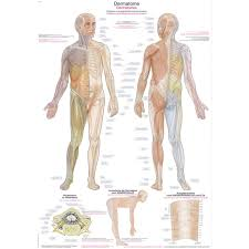Dermatomes Small Poster