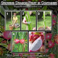 Edible Tropicals How To Propagate Dragonfruit By CuttingsHow To Take Care Of Dragon Fruit Tree