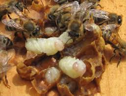 How Testing For Varroa Mites Can Save Your Bees Carolina