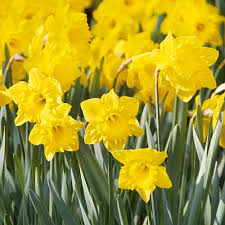 van zyverden daffodils bulbs colossal yellow trumpet set of 100 mammoth