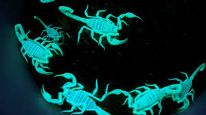 Why Do Scorpions Glow Under Uv Light Why Scorpions Glow Under Black Light Howstuffworks