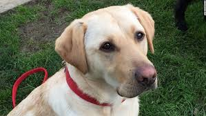 kiwi a yellow is a former guide dog she 39