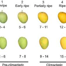 Different Ripening Stages And Colour Chart For Alphonso And