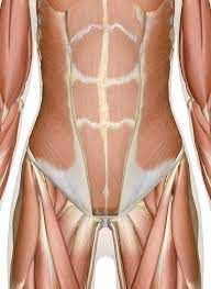 Or the circumference of your head? Muscles Of The Abdomen Lower Back And Pelvis
