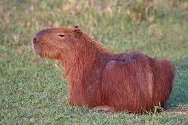 Rodents Lower Classifications Capybara Wikipedia