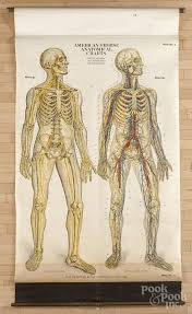 American Frohse Anatomical Charts Key American Frohse Anatomical Chart Copyright 1918 Plate 3