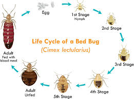 bed bug life cycle what chemical kills bed bugs what chemical kills bed bugs