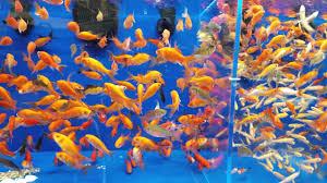 petsmart goldfish tank. Plain Petsmart In Petsmart Goldfish Tank P
