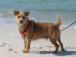 Rustralian Terrier Australian Terrier And Jack Russell
