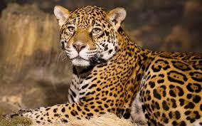2048x1365 cheetah full hd background 2048x1365