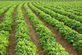 Soil Fertility Important In Managing Soybean Cyst Nematode