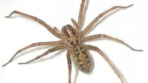 Arizona Spiders Identification Chart Hobo Spider Bite Pictures Symptoms And Treatments