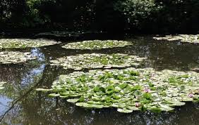 water lilies in monet s garden at giverny picture roisin mcauley